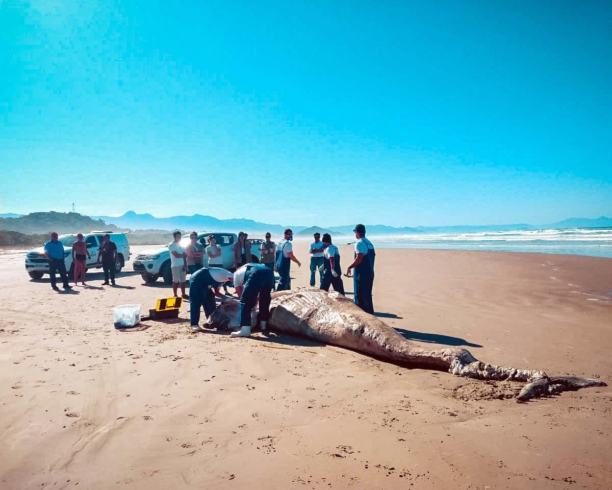 Baleia de sete metros é encontrada morta em praia de Bertioga, SP - Notícias - Plantão Diário