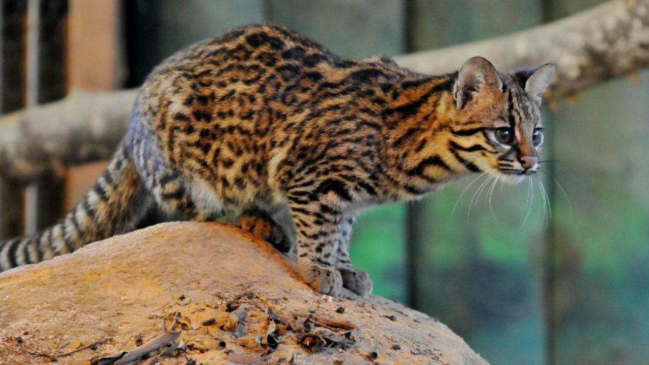 Pesquisa da UEMA sobre gato-do-mato é publicada em revista de conservação biológica internacional