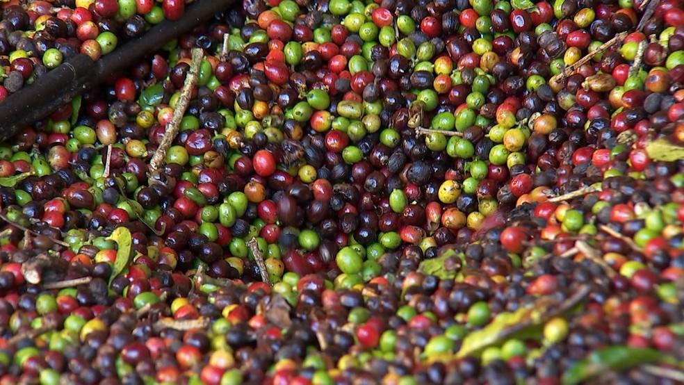Produtores da região de Garça esperam colher 300 mil sacas de café em 2018 (Foto: Reprodução/TV TEM)