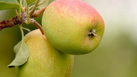 Produtores paulistas colhem safra de maçã