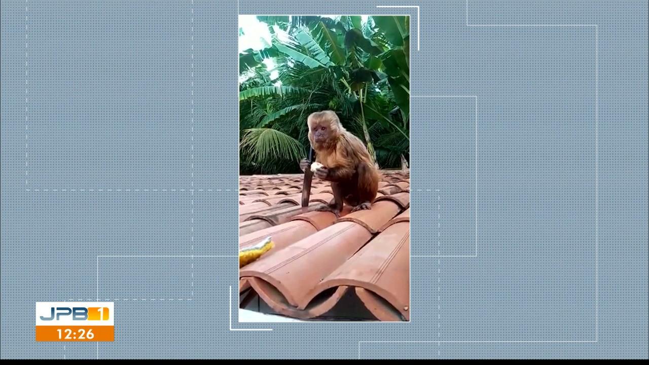 Macaco pega faca e sobe no telhado de casa, no Sertão da Paraíba