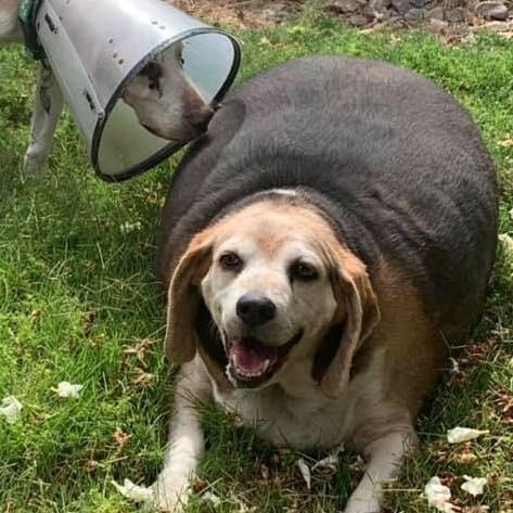scădere în greutate pentru beagles