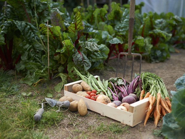 A freshly picked selection of organic vegetables placed in a box on a small allotment. (Foto: Getty Images)