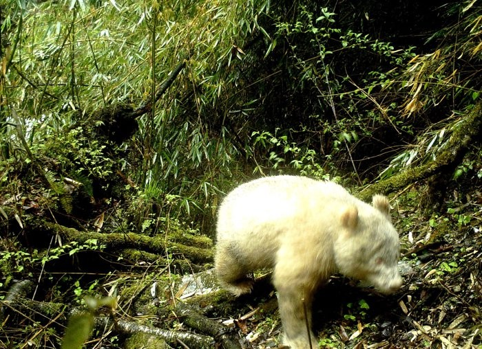 Panda albino  (Foto: Wolong National Nature Reserve)