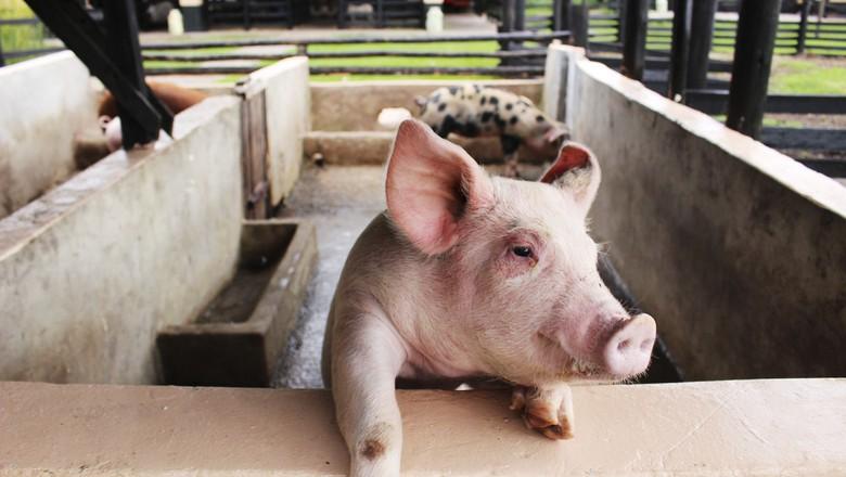 porco-suino-granja-criação (Foto: Rosalba Tarazona/CCommons)