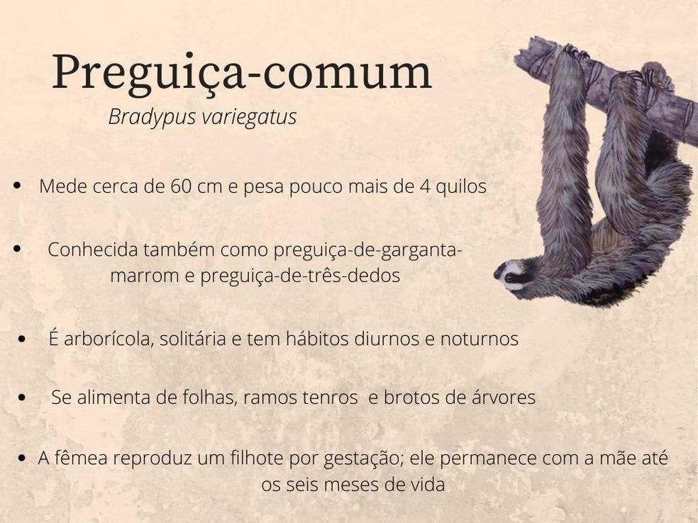 A preguiça-comum não é considerada ameaçada — Foto: Ilustração: Tomas Sigrist/Arte TG