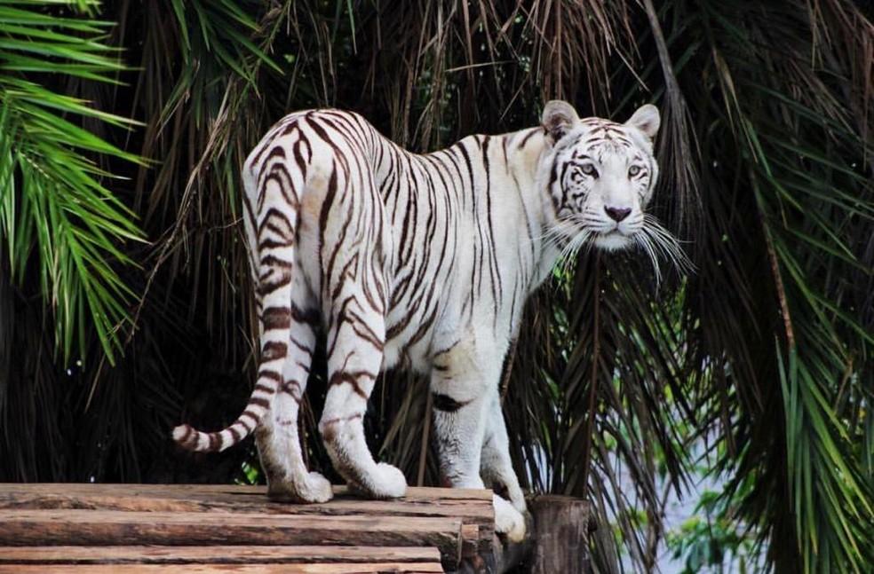 Maya, a fêmea da espécie tigre-de-bengala tem dez anos e vive no Zoológico de Brasília.   — Foto: Divulgação/Zoológico de Brasília