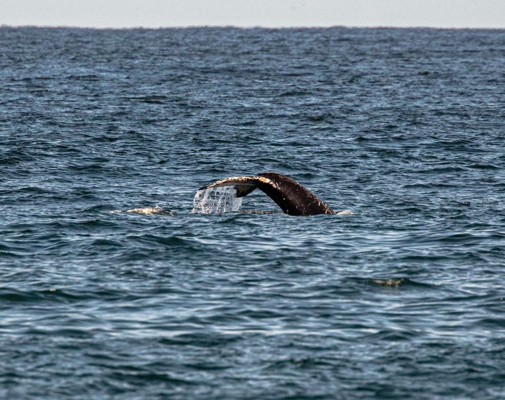 Baleia é vista nadando na praia do Leme — Foto: Marcello Cavalcanti/Arquivo pessoal