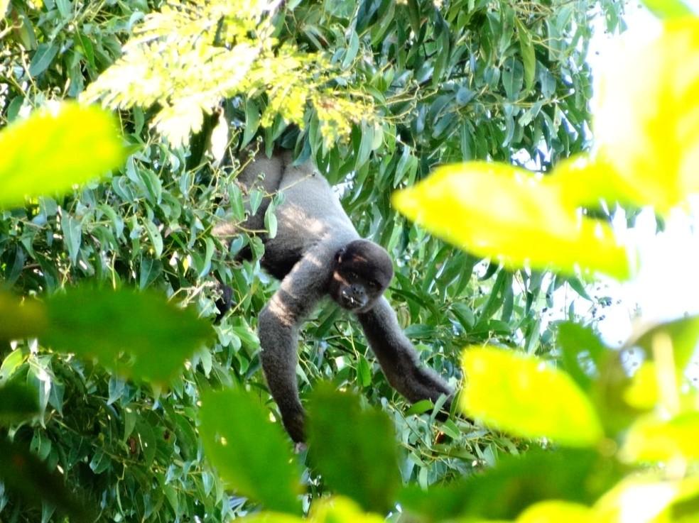 Macaco-barrigudo tem pelagem escura e acinzentada.  — Foto: Odair Diogo da Silva/Arquivo pessoal