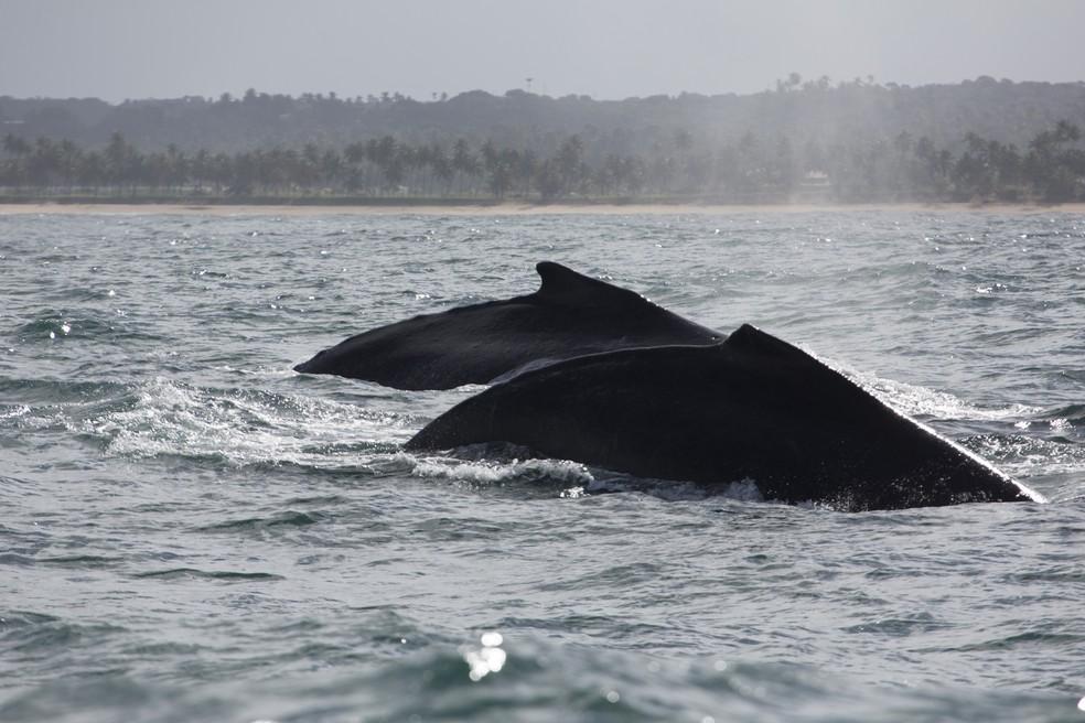 Cerca de 20 mil baleias jubarte devem passar pelo litoral da BA durante temporada de reprodução (Foto: Enrico Marcovaldi/Instituto Baleia Jubarte)
