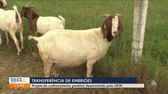 Programa da Uesb desenvolve estudo de embriões para melhoramento genético de caprinos na Bahia
