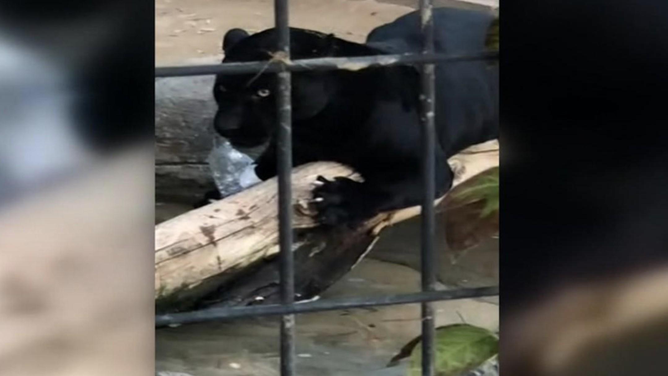 Após incidente, jaguar foi retirado da exposição do zoológico (Foto: Reprodução/ Twitter)