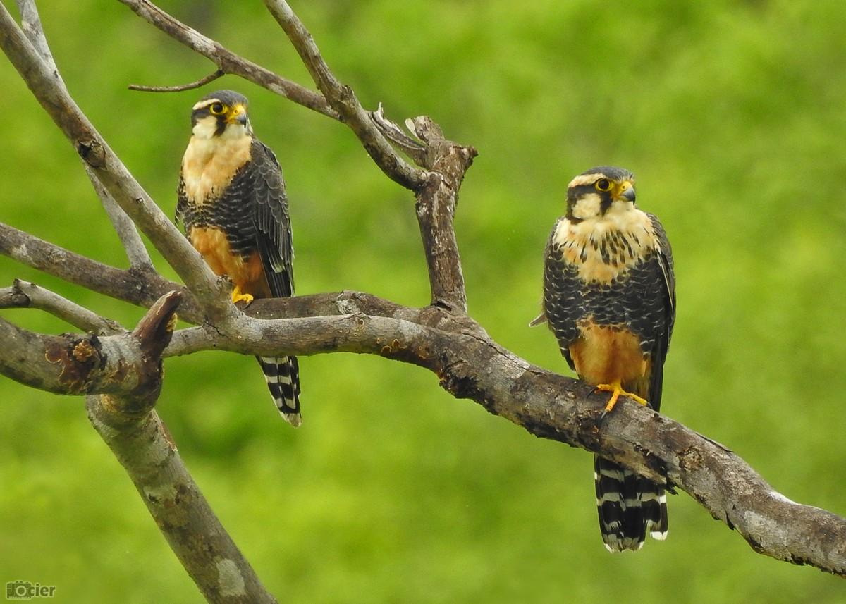 Casal de falcão-de-coleira é fotografado por observador no Ceará