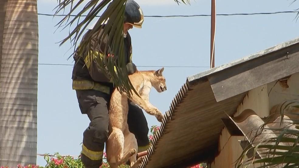 Onça é capturada por bombeiros após ser acertada por dardo tranquilizante em Jales — Foto: Reprodução/TV TEM