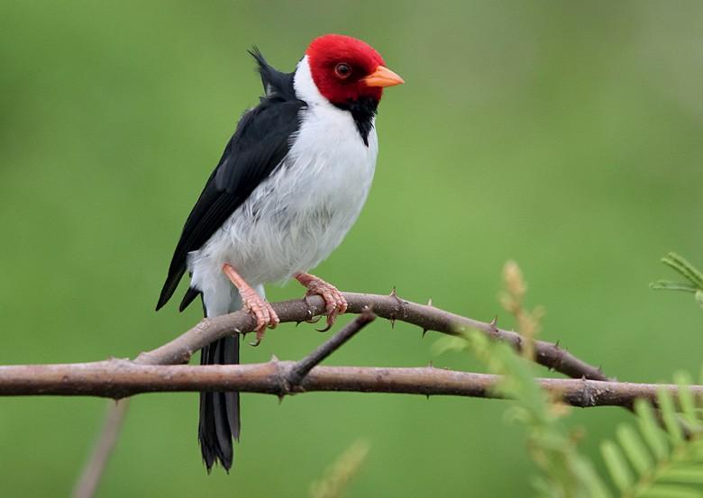 No Brasil, a observação de pássaros cresce  a cada ano e atrai investimentos dos donos  de sítios próximos a áreas de conservação  (Foto: José Eduardo Camargo)