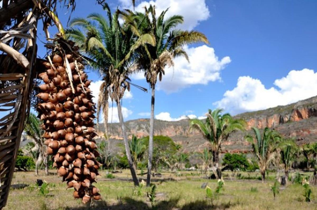 Projeto de estudantes de MT mostra o coco da palmeira babaçu como alternativa de renda - G1