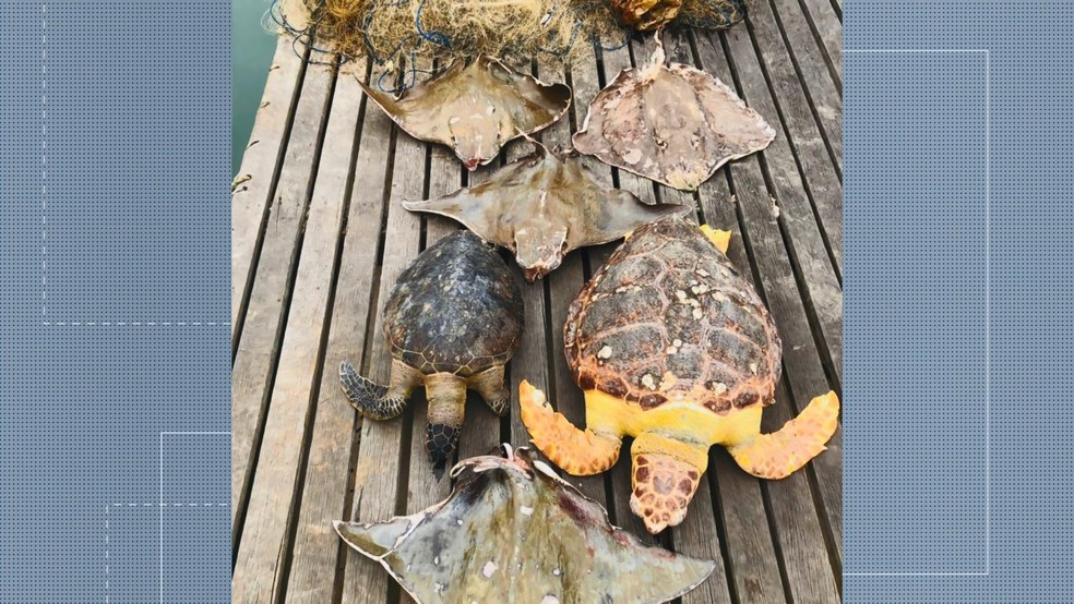 Turtles and rays found dead in fishing nets, in Vitória - Photo: Reproduction / TV Gazeta