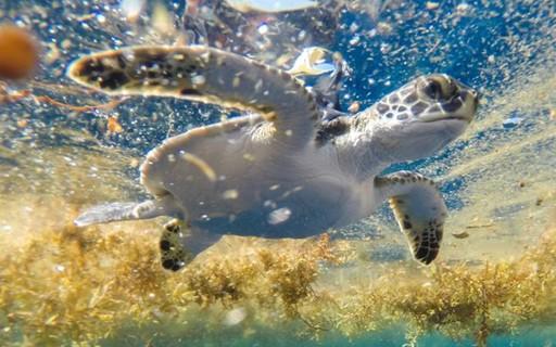 Mar no Triângulo das Bermudas é um berçário de tartarugas, indica estudo