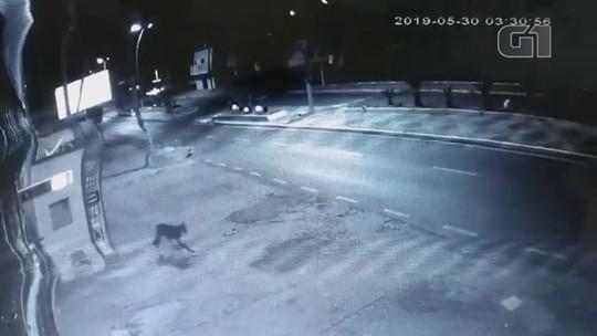 Câmera de segurança registra onça-parda andando em bairro de Monte Aprazível; vídeo