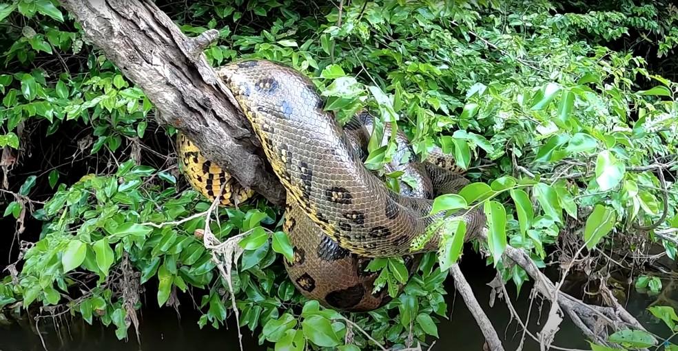 Sucuri gigante deita em tronco após comer  — Foto: Reprodução/YouTube