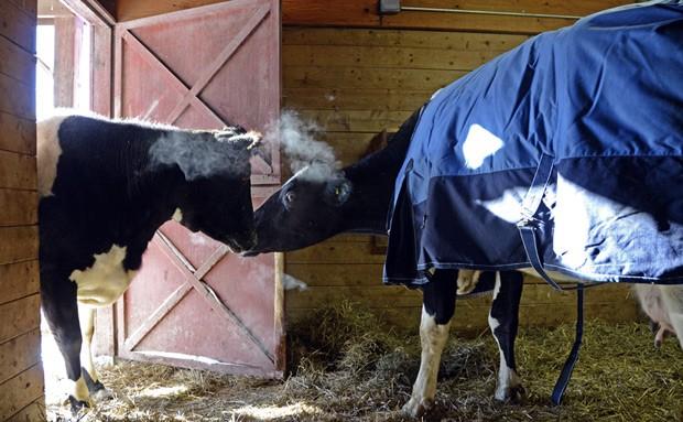 Em foto de 5 de fevereiro, as vacas Tricia (esquerda) e Sweety fazem amizade no Farm Sanctuary, em Watkins Glen, estado de Nova York (Foto: AP Photo/Farm Sanctuary)
