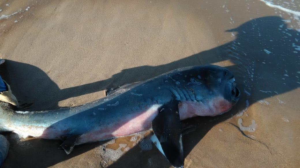 Raro tubarão-boca-grande é encontrado boiando no Litoral do Piauí