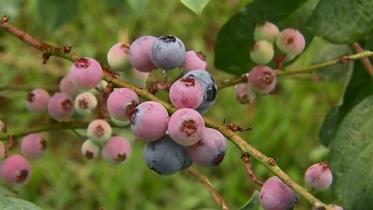 Saiba o que é o mirtilo, fruta conhecida no exterior como blueberry