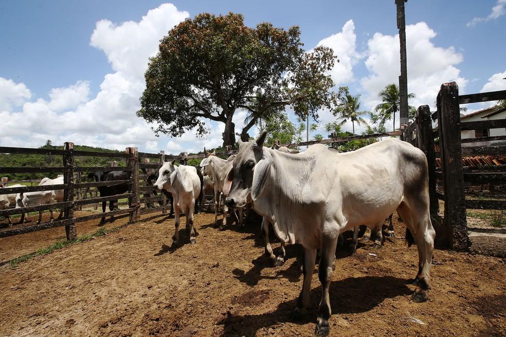 Vacinação contra Febre Aftosa na Bahia inicia segunda etapa — Foto: Carol Garcia/GOVBA