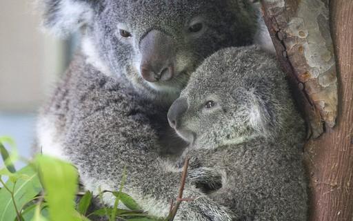Coalas estão sendo libertados de volta à natureza após incêndios na Austrália