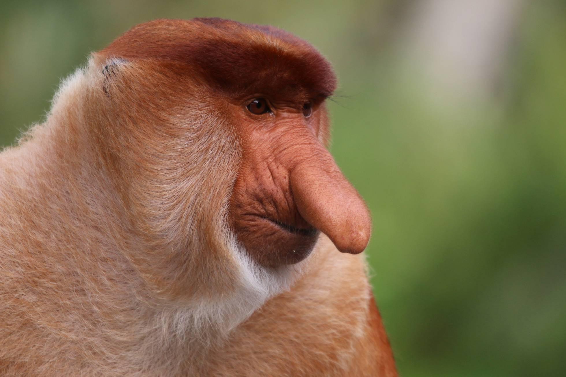 Macaco-narigudo (Foto: Ikki Matsuda)