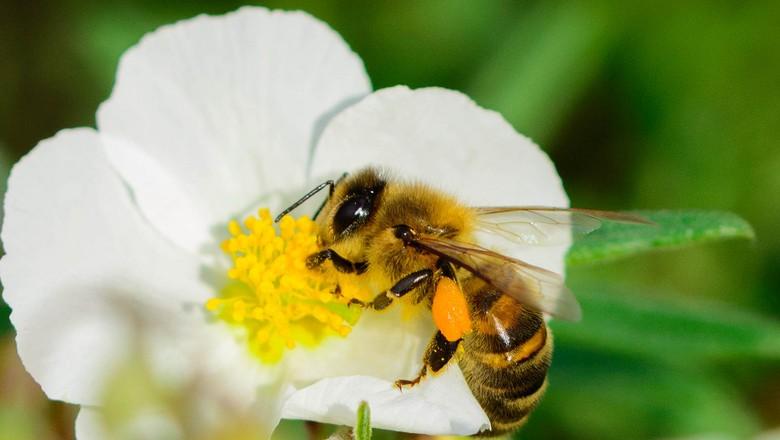 abelha-flor-inseto-mel-colmeia (Foto: Pierre Guezingar/CCommons)