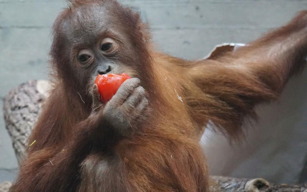 O orangotango habita florestas que hoje são visadas como áreas para produção de óleo de palma (Foto: Pixel-mixer/Creative Commons)