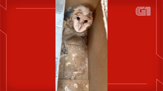 Filhotes de coruja viajam mais de 700 km entre MT e MS escondidos dentro de colheitadeira: 'Uma grande aventura'