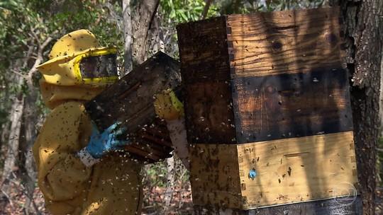 Acácias revolucionam o cenário da Serra do Roncador com produção de mel orgânico