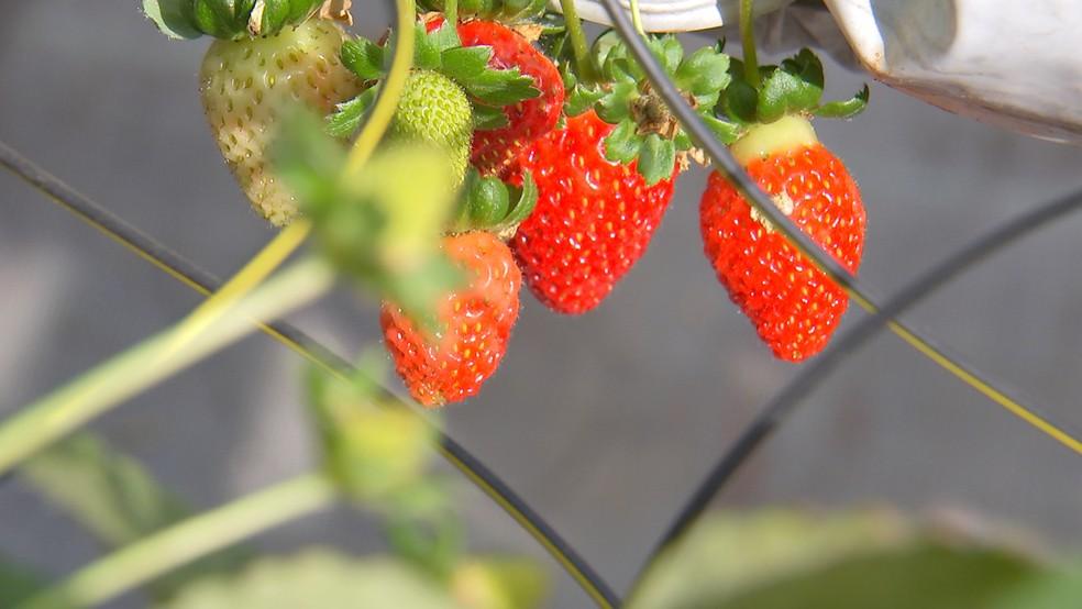 Turistas saboreiam morango em uma plantação com rodízio da fruta — Foto: TV TEM/Reprodução