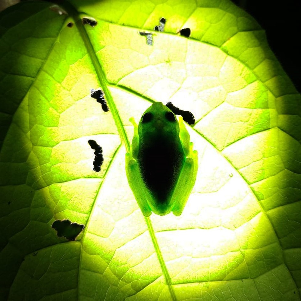 Perereca florescente foi encontrada em Vilhena (RO) — Foto: Thiago Baldine/Arquivo pessoal