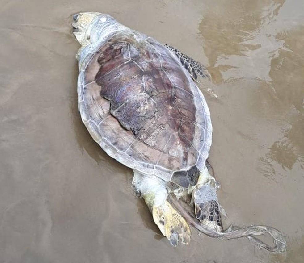 Tartaruga verde encontrada morta na orla de Praia Grande, litoral de São Paulo — Foto: Divulgação/Instituto Biopesca