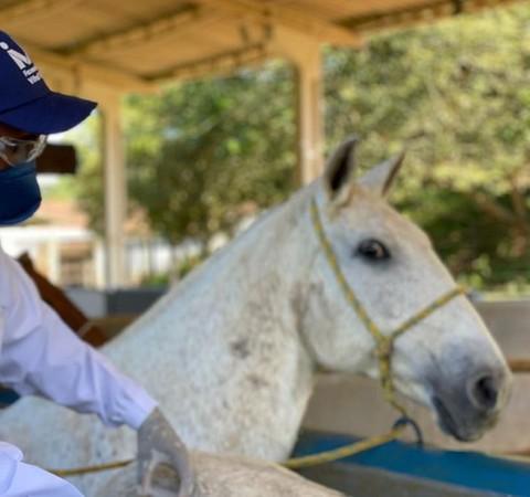 Entenda como soro obtido de cavalos pode ajudar a combater a Covid-19