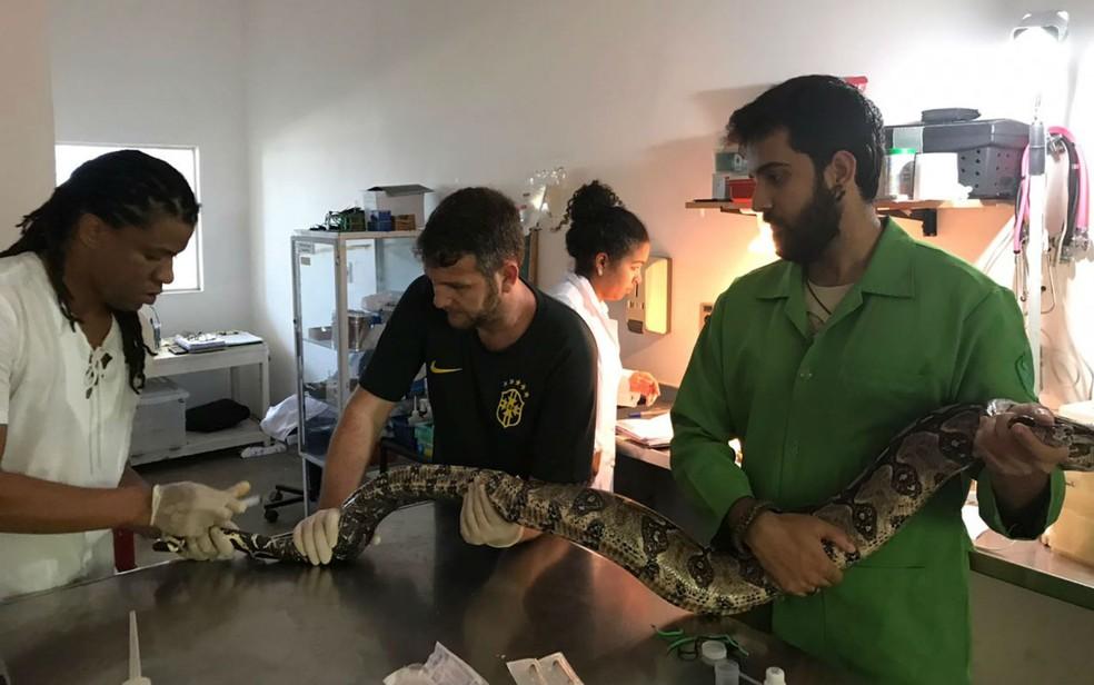 Jiboia foi resgatada por estudante de medicina veterinária da Ufba (Foto: Gustavo Rodamilans/ AASE)
