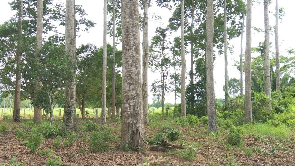 Foram 40 mudas plantadas em 1983 numa área de um hectare (Foto: Rede Amazônica/Reprodução)