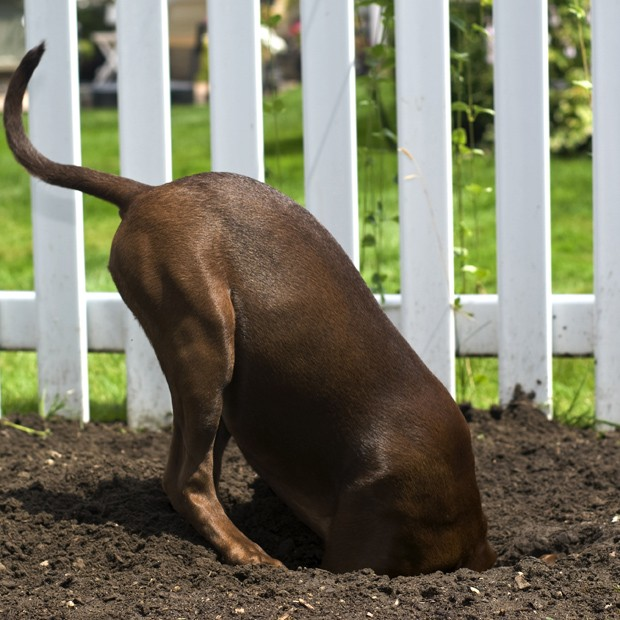 A dog with her entire head underground in a hole she has dug.  (Foto: Getty Images/iStockphoto)
