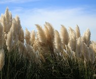 Capim-dos-pampas: como cultivar a espécie no jardim