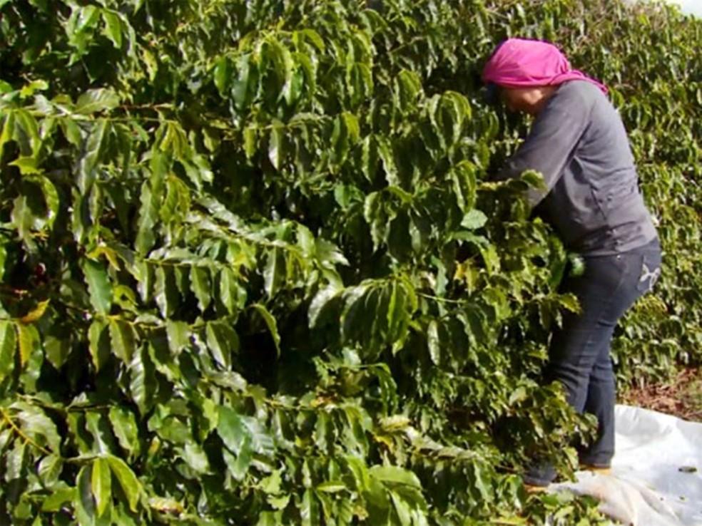 Colheita do café impulsiona geração de empregos na agropecuária, mas número é sazonal (Foto: Reprodução EPTV)