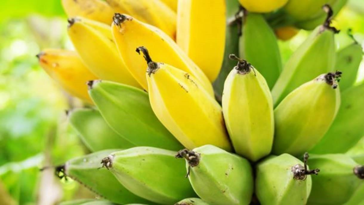 As bananas fazem parte da dieta de cerca de 400 milhões de pessoas no mundo todo, segundo a Universidade de Wageningen (Foto: Getty Images)