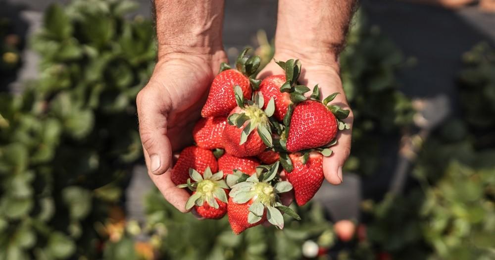 Mudas de morango da Embrapa doadas pela Prefeitura para os produtores locais têm ótimo resultado em Atibaia