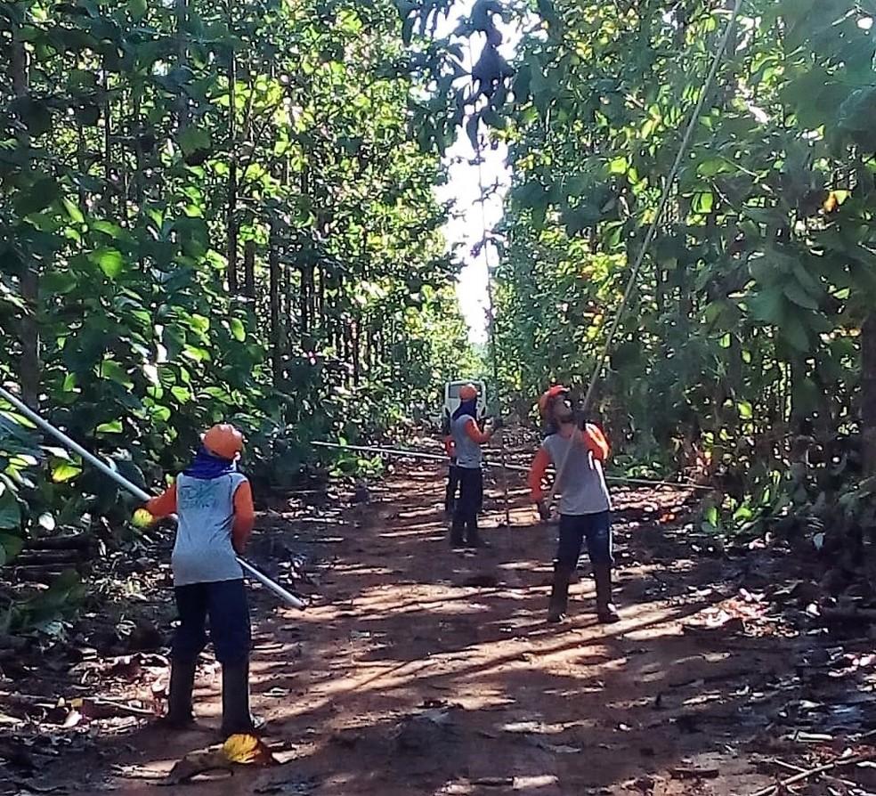 Em Água Boa, presos trabalham no cultivo de teca — Foto: Sesp-MT/ Assessoria