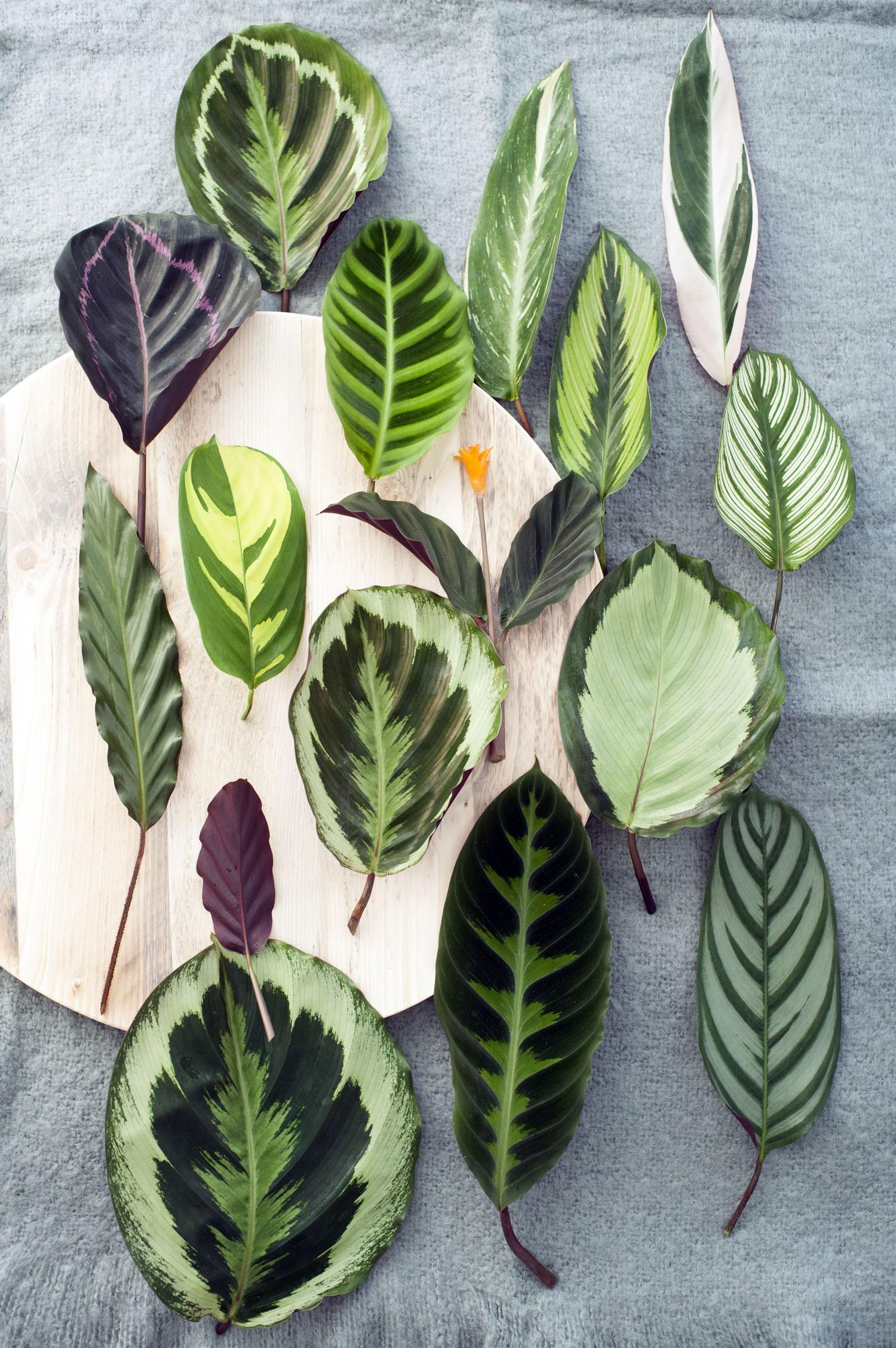 Marantas e Calatheas: conheça as plantas que conquistaram os millennials (Foto: Reprodução)