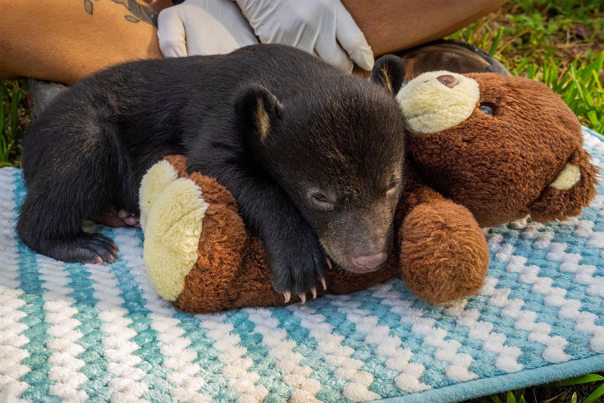 Filhote de urso-negro órfão se recupera em zoo na Califórnia