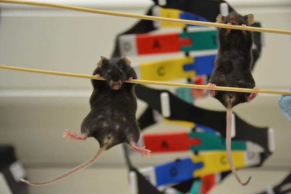 Da esquerda para a direita, camundongo XY com genitália feminina e cobaia fêmea (XX) sem alteração no material genético (Foto: Instituto Francis Crick/Greta Keena)