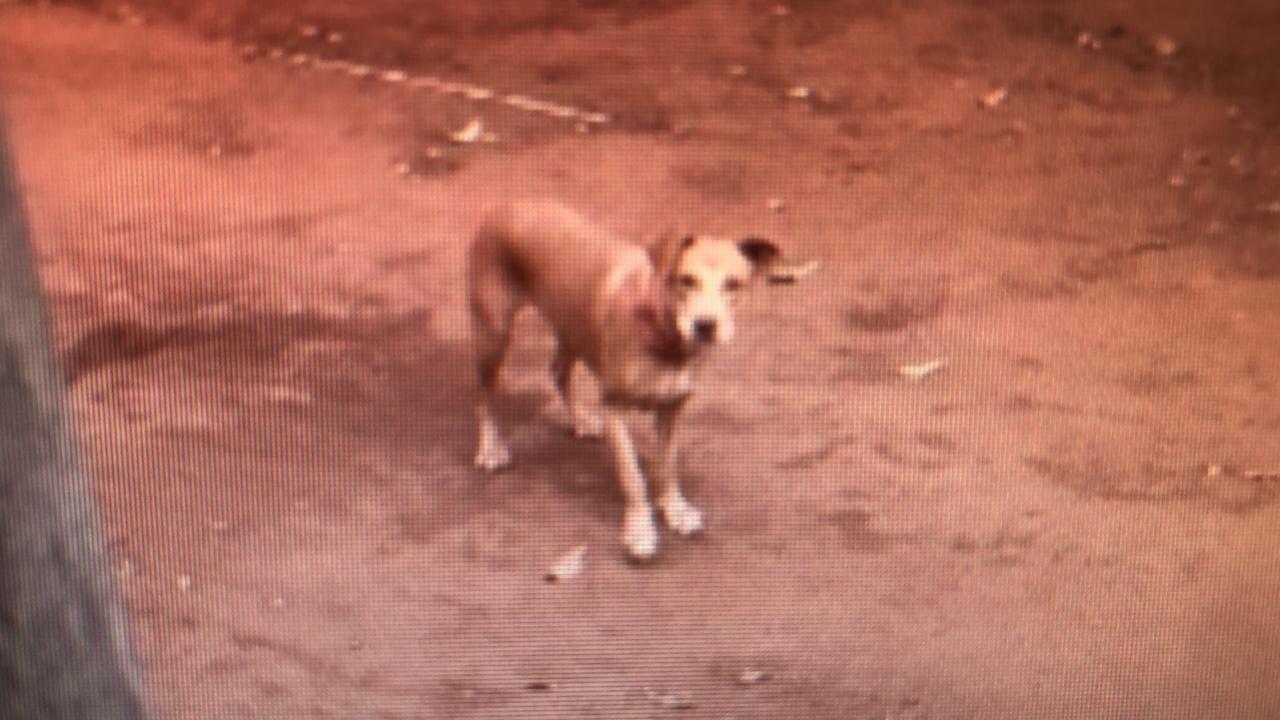 Cachorro rouba galinha da vizinha e dono da ave grava ataque com celular; veja vídeo